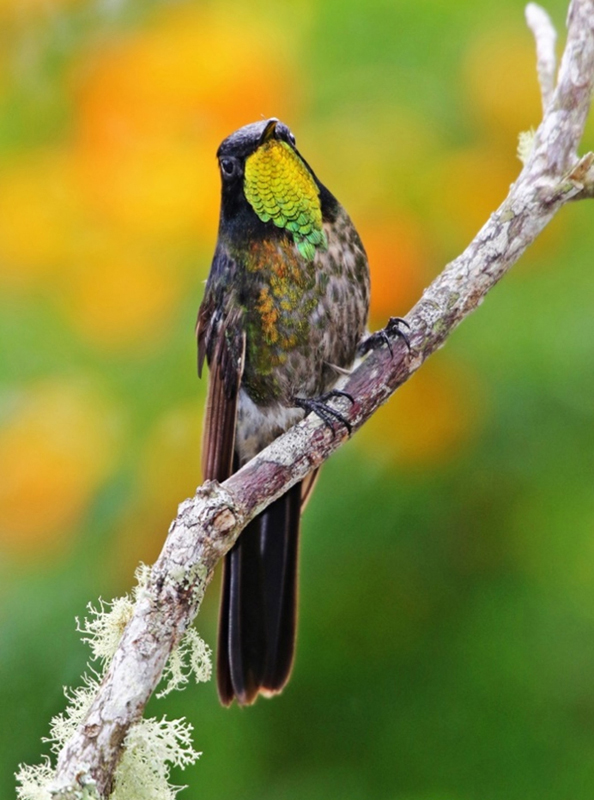 Black-backed Thornbill - Colombia
