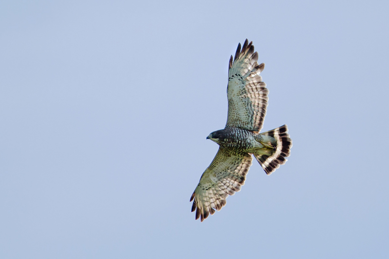 Broad-winged Hawk - Costa Rica