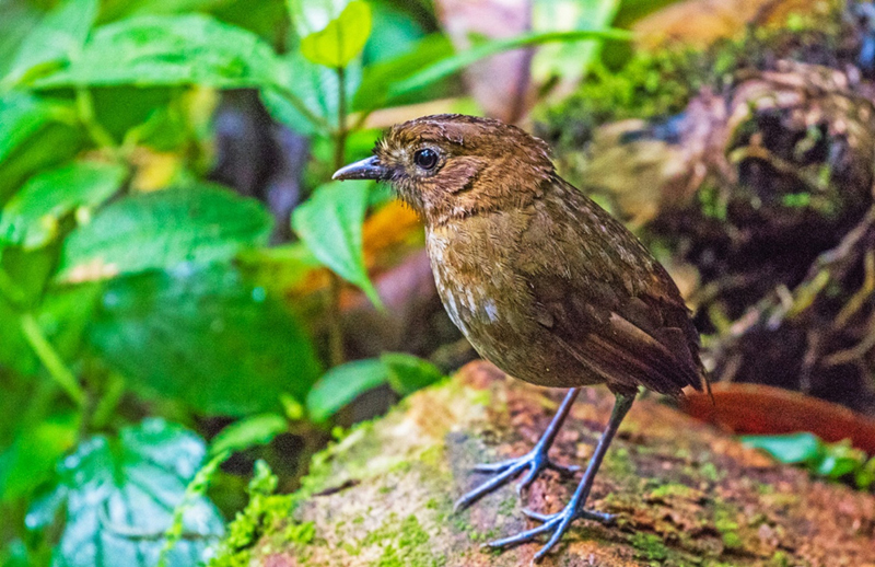 Brown-banded Antpitta - Colombia
