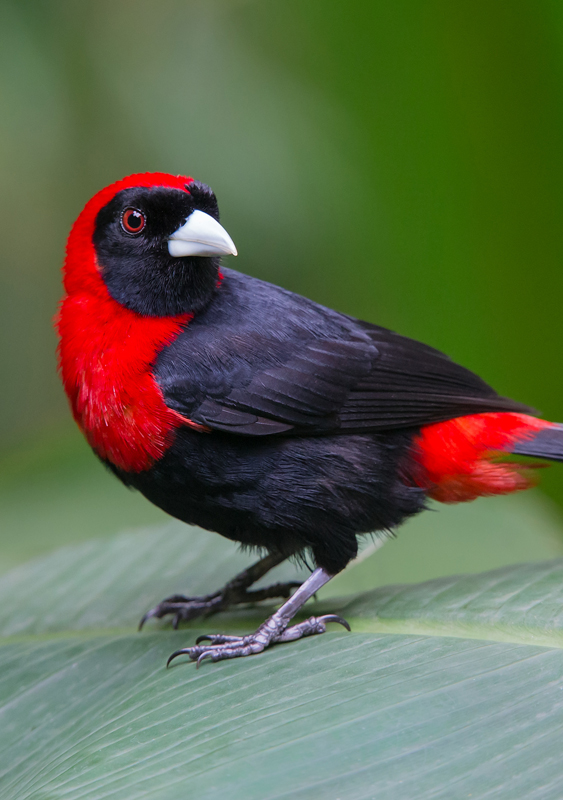 Crimson-collared Tanager - Costa Rica