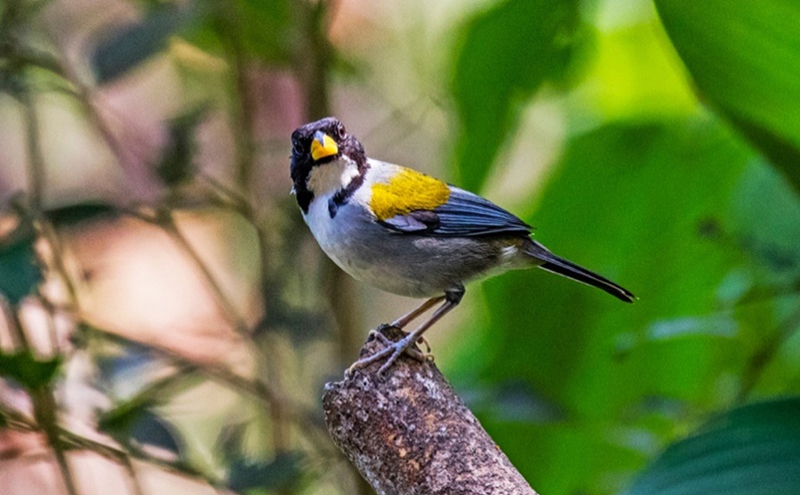 Golden-winged Sparrow - Colombia