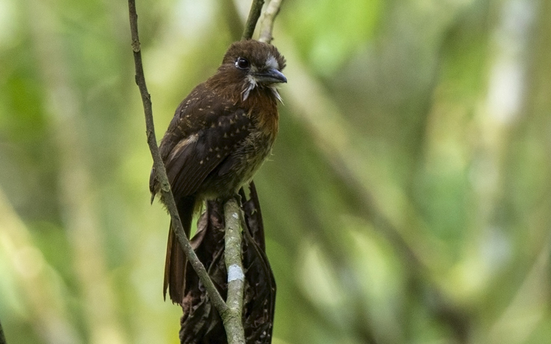 Moustached Puffbird - Colombia