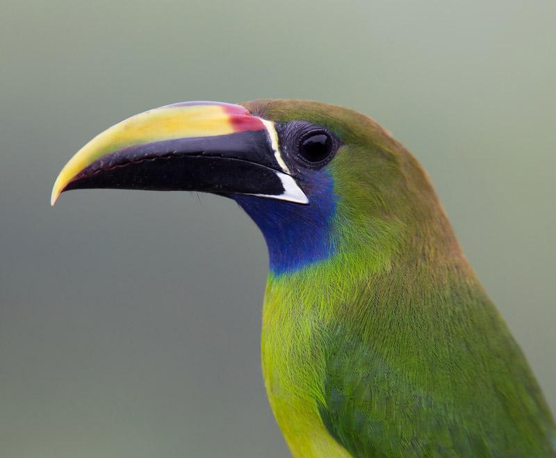 Northern Emerald-Toucanet - Sabrewing