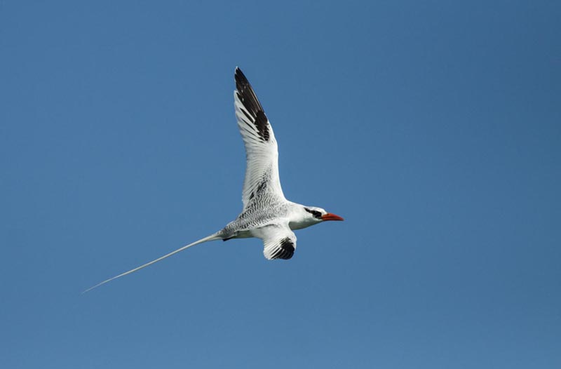 Red-billed Tropicbird - Panama