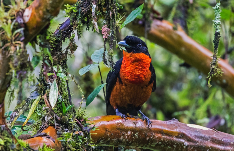 Red-ruffed Fruitcrow - Colombia