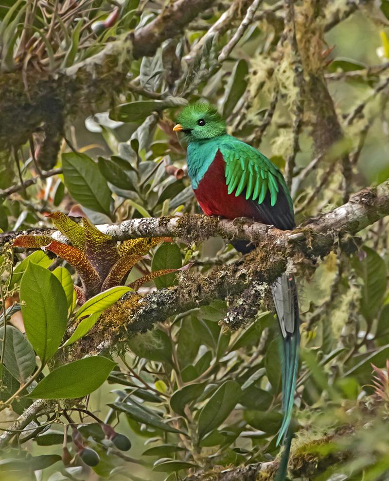 Resplendent Queztal - Costa Rica