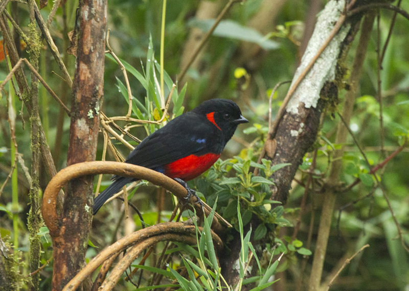 Scarlet-bellied Mountain-Tanager - Colombia