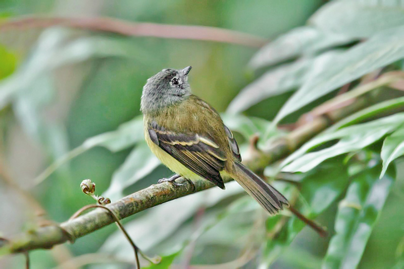 Tawny-chested Flycatcher - Costa Rica