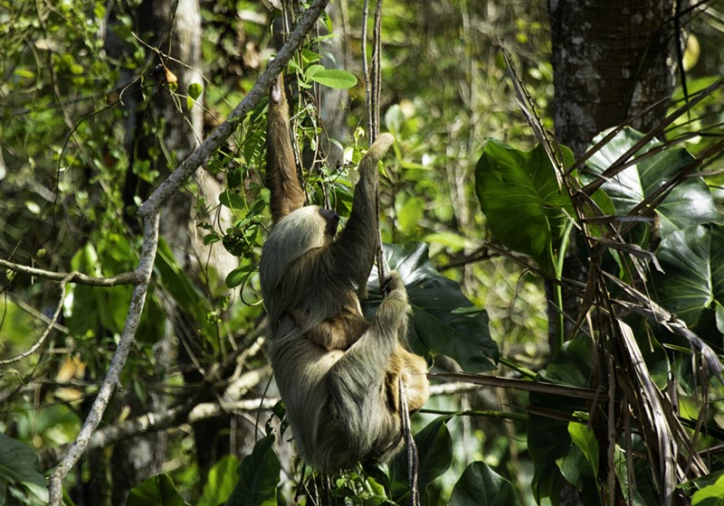 Two-toed Sloth - Panama