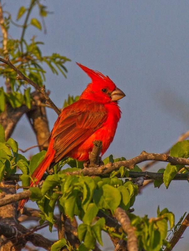 Vermilion Cardinal - Colombia