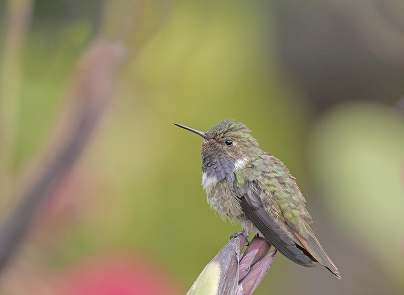 Volcano Hummingbird - Costa Rica