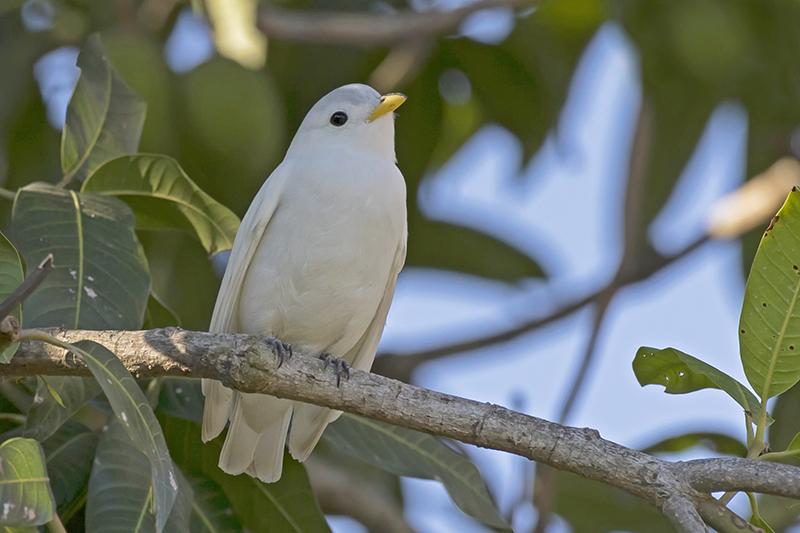 Yellow-billed Cotinga - Costa Rica