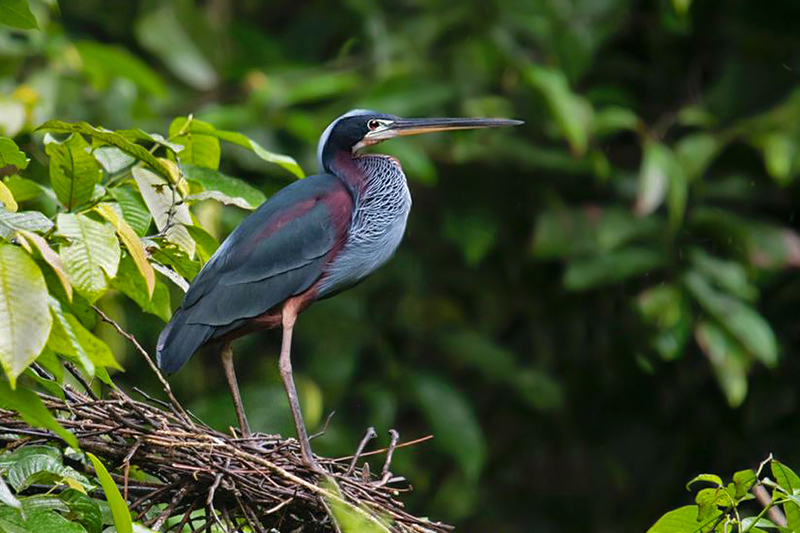 Agami Heron - Costa Rica