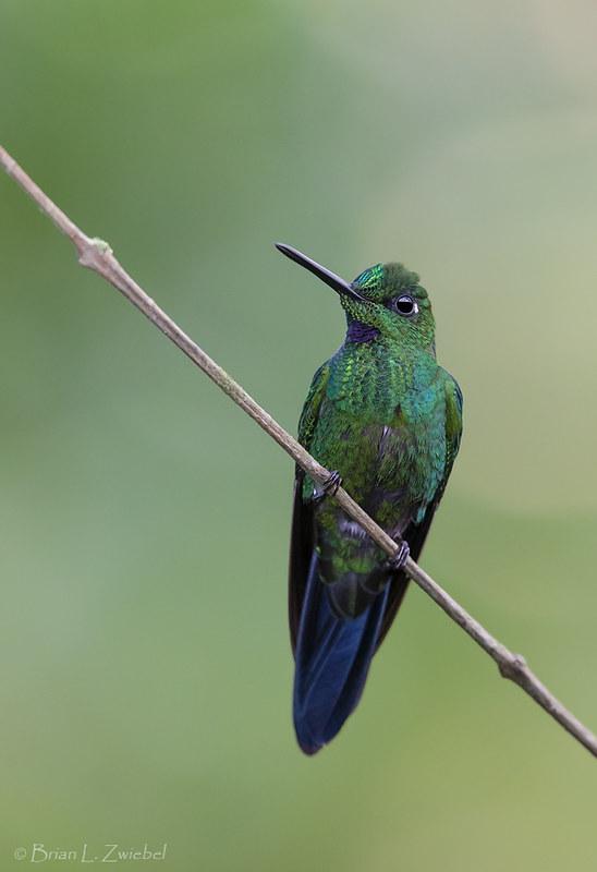 Green-crowned Brilliant - Ecuador