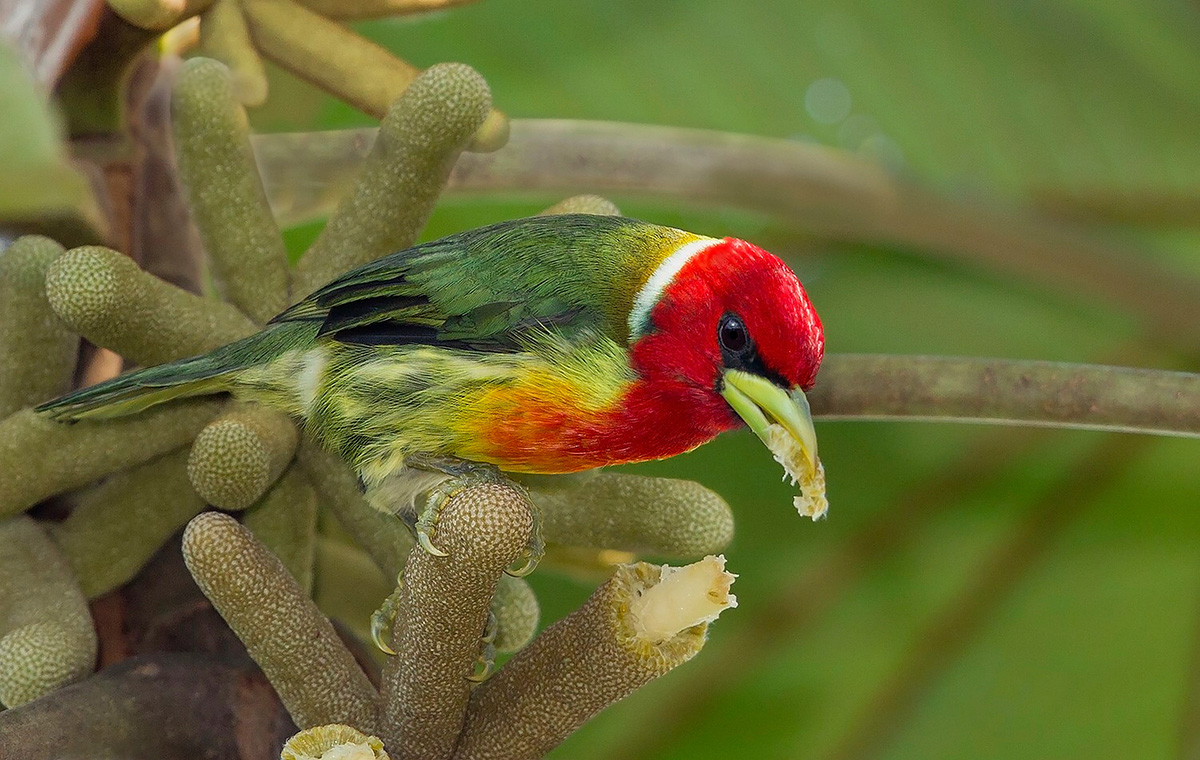 Red-headed Barbet - Ecuador