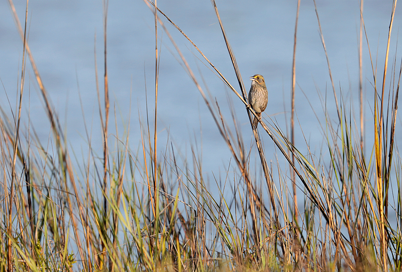Seaside Sparrow - Sabrewing