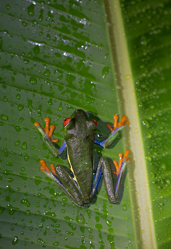 Red-eyed Tree Frog - Costa Rica