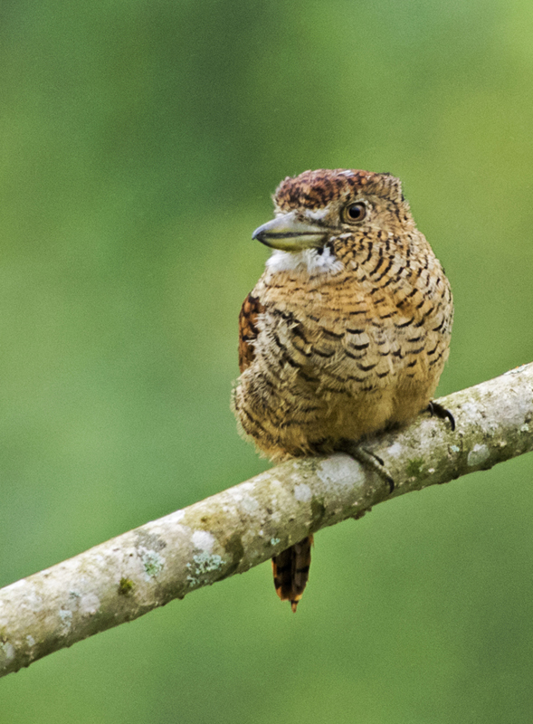 Barred Puffbird - Ecuador
