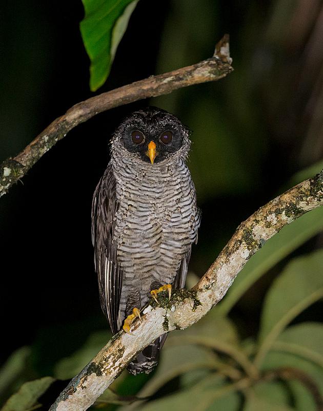 Black-and-white Owl - Costa Rica