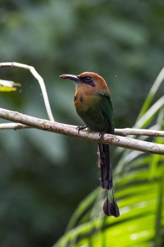 Broad-billed Motmot - Costa Rica