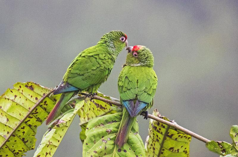 El Oro Parakeet - Ecuador