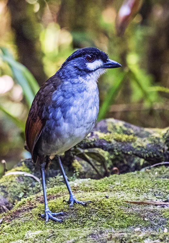 Jocotoco Antpitta - Ecuador