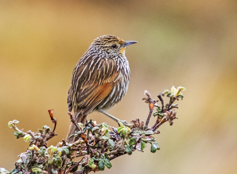 Many-striped Canastero - Ecuador