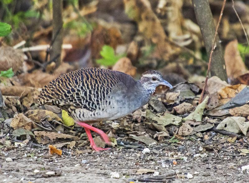 Pale-browned Tinamou - Ecuador