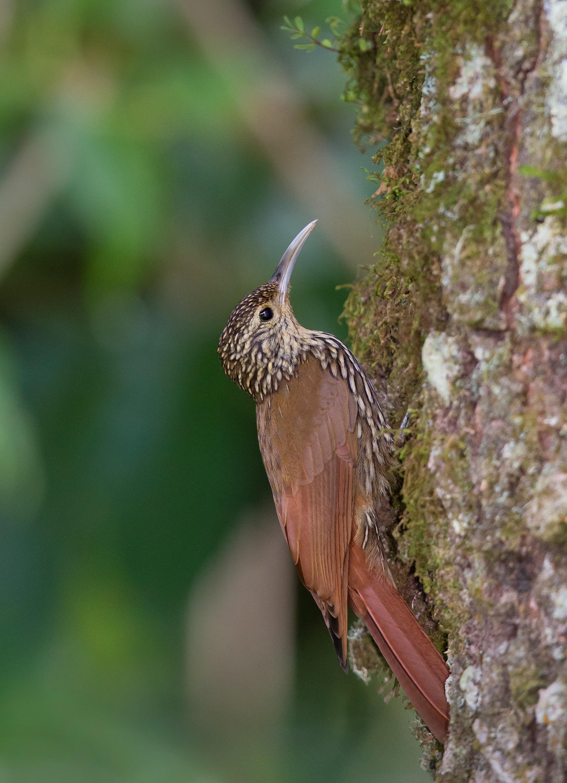 Streak-headed Woodcreeper - Costa Rica