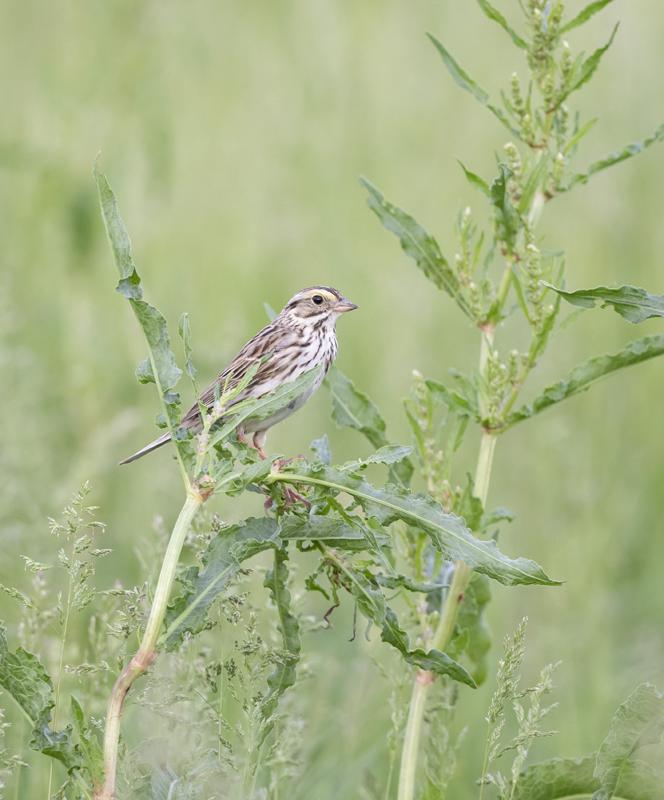 Savannah Sparrow - North Dakota