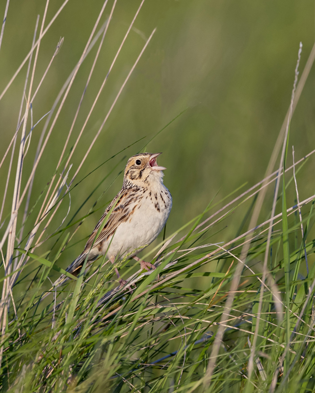 Baird's Sparrow - North Dakota