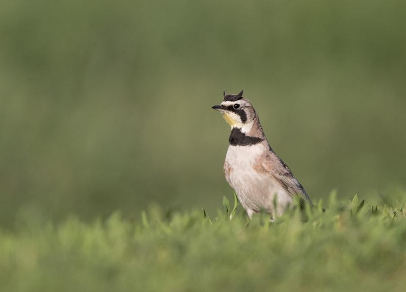 Horned Lark - North Dakota