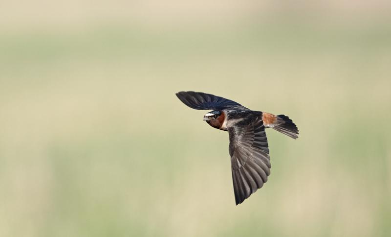 Cliff Swallow - North Dakota