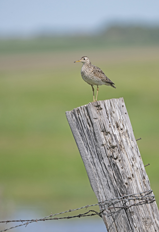 Upland Sandpiper - North Dakota