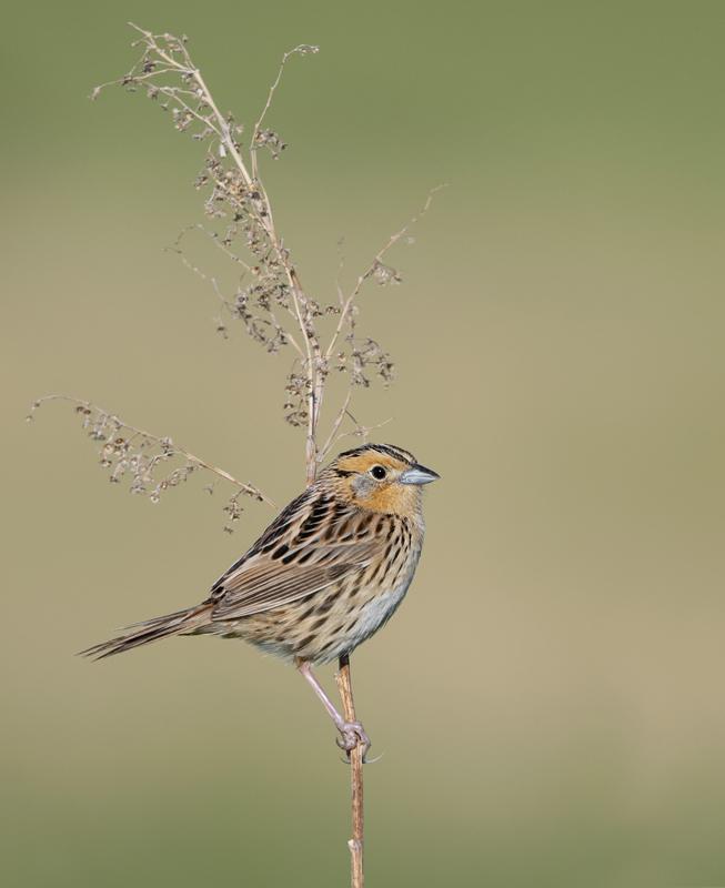LeConte's Sparrow - North Dakota