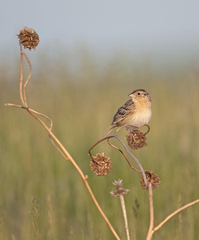 Grasshopper Sparrow - North Dakota