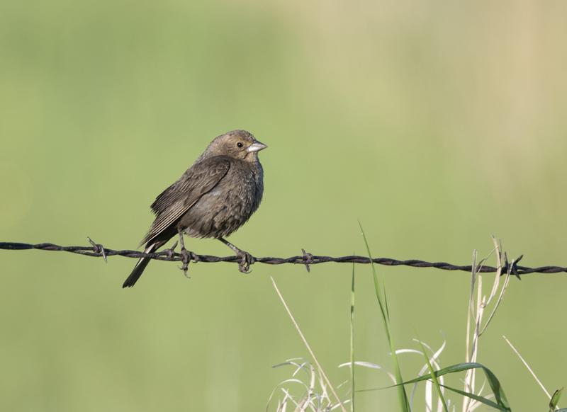 Brown-headed Cowbird - North Dakota