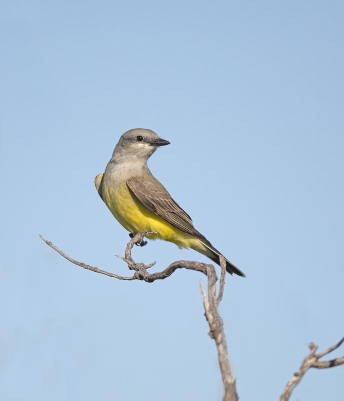 Western Kingbird - North Dakota