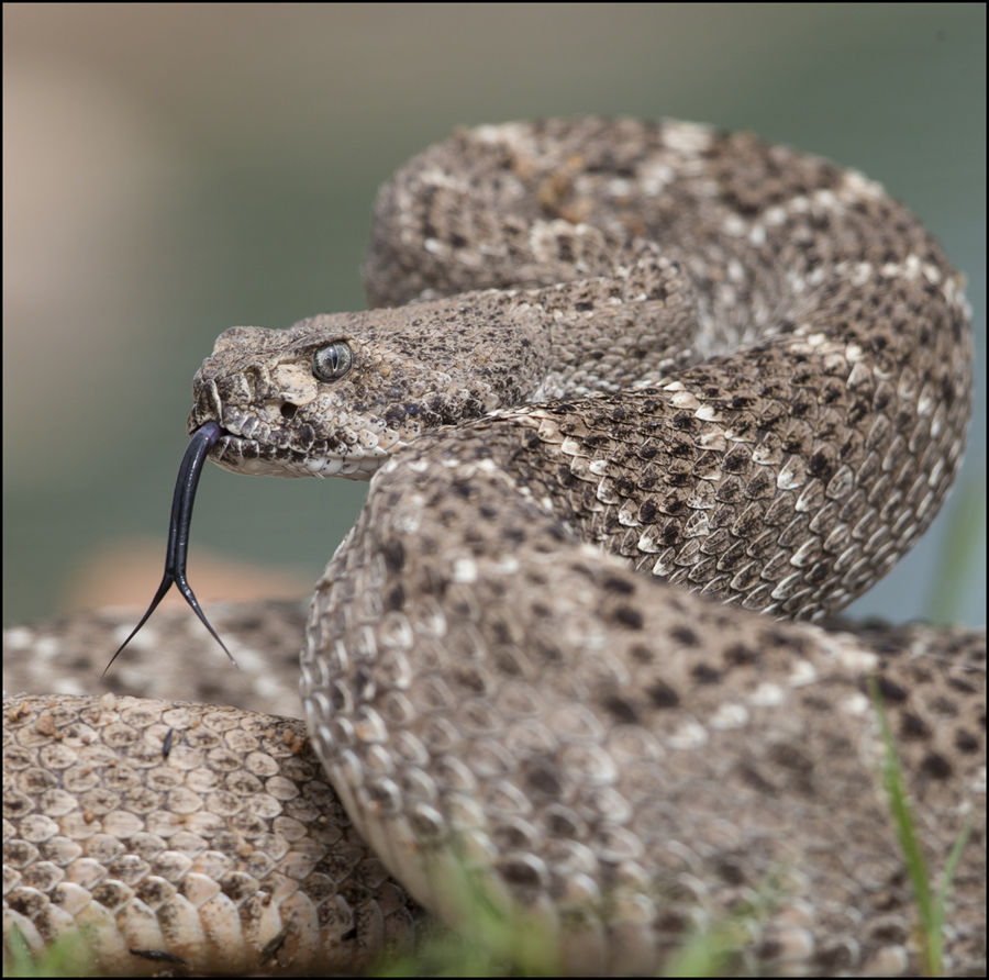 Western Diamondback - Arizona