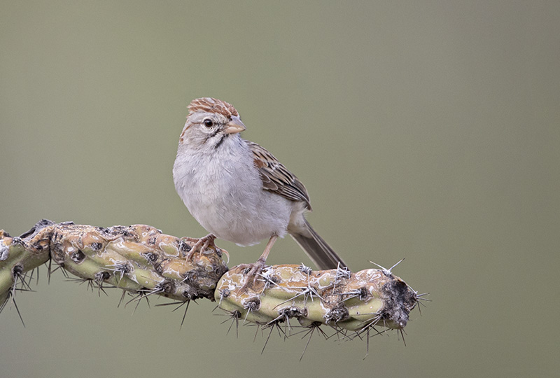 Rufous-winged Sparrow - Arizona