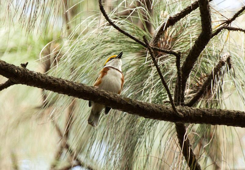 Chestnut-sided Shrike Vireo - Rob Ripma