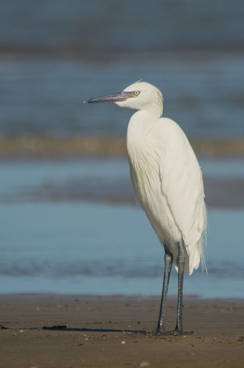 Reddish Egret - Eric Ripma